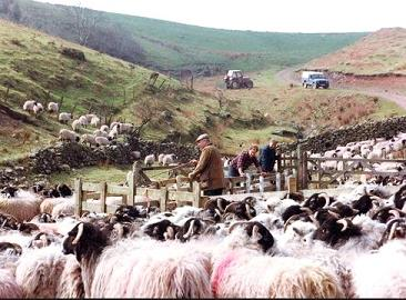 cumbrian sheep farmers